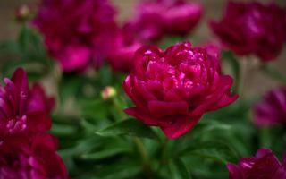 Как посадить и вырастить пион в саду