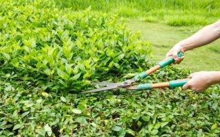 Как обрезать живую изгородь?