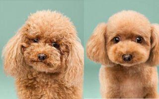 Собаки после специальной японской стрижки