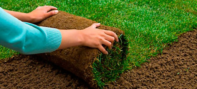 Трава из рулона — как ее уложить? Советы и хитрости