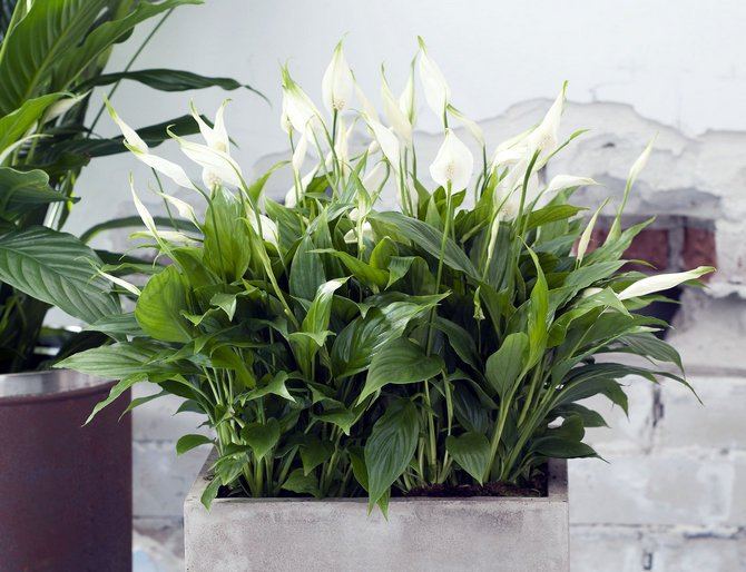 Спатифиллум – элегантное растение, которое очищает воздух